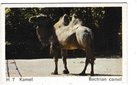 Trade Card Dandy Gum Wild Animals H 07 Bactrian Camel