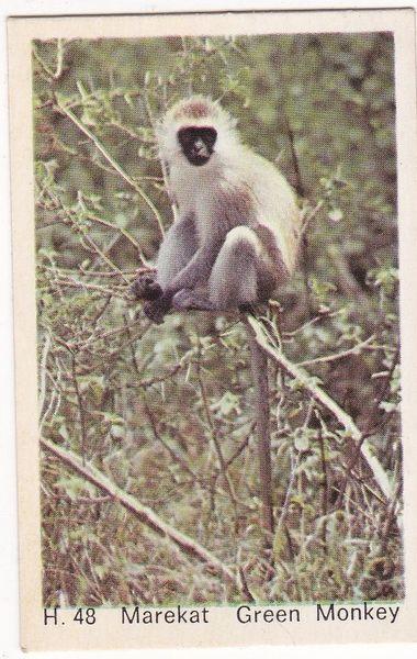 Trade Card Dandy Gum Wild Animals H 48 Green Monkey