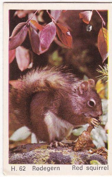 Trade Card Dandy Gum Wild Animals H 62 Red Squirrel