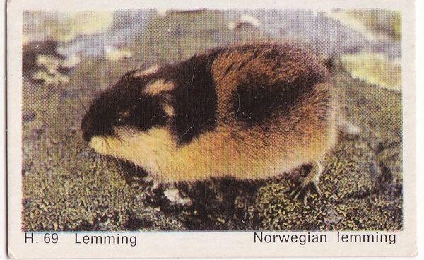 Trade Card Dandy Gum Wild Animals H 69 Norwegian Lemming