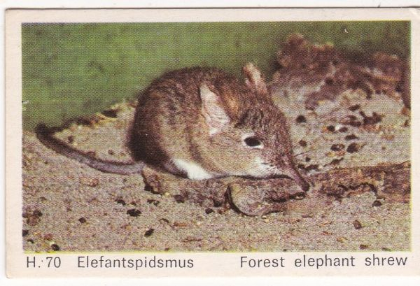 Trade Card Dandy Gum Wild Animals H 70 Forest Elephant Shrew