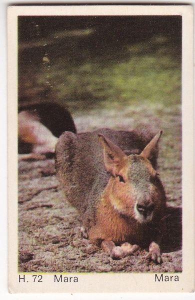 Trade Card Dandy Gum Wild Animals H 72 Mara or Patagonian Hare