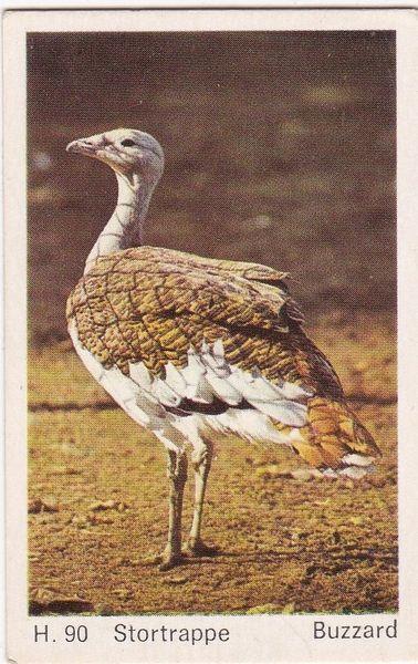 Trade Card Dandy Gum Wild Animals H 90 Great Buzzard