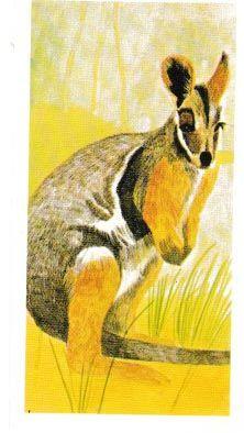 No. 39 Yellow Footed Rock Wallaby