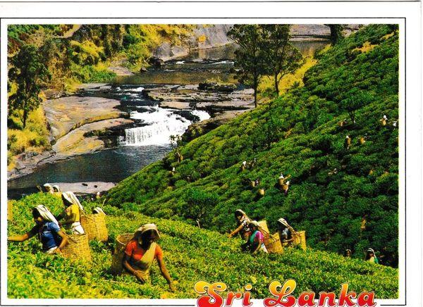 Postcard Asia Sri Lanka The Plantation with tea Pluckers