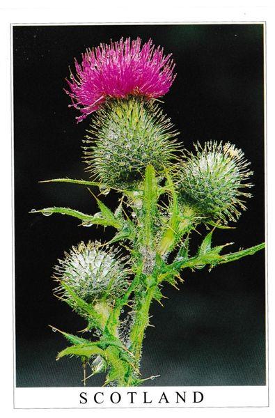 Postcard Flowers Spear's Thistle Scotland