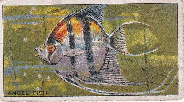 No. 24 Angel Fish