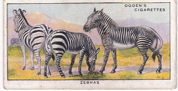 No. 13 Concealing Colours for Protection ANIMALS (E) Zebras