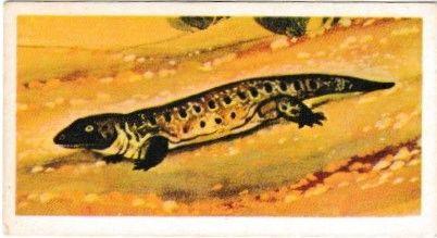 No. 06 Seymouria