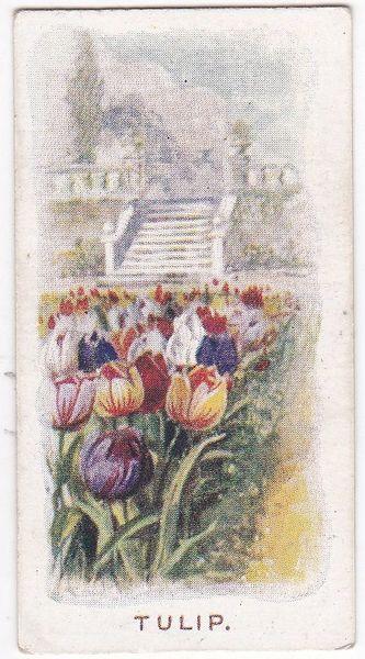 No. 24 Tulip