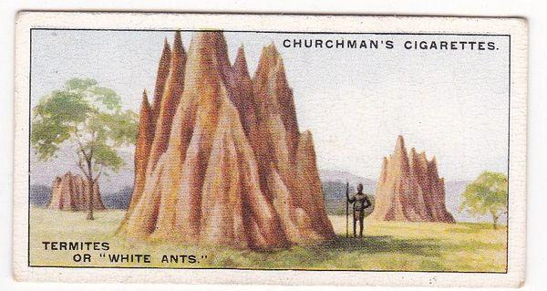 No. 24 Termites or White Ants