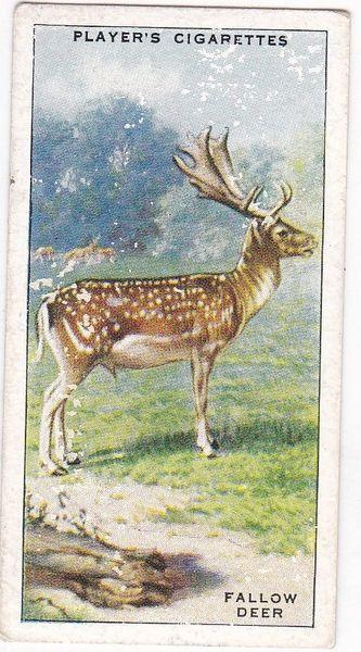 No. 36 Fallow Deer