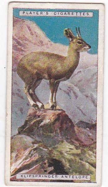 No. 03 Klipspringer Antelope