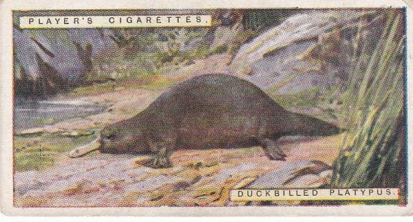 No. 38 Duckbilled Platypus