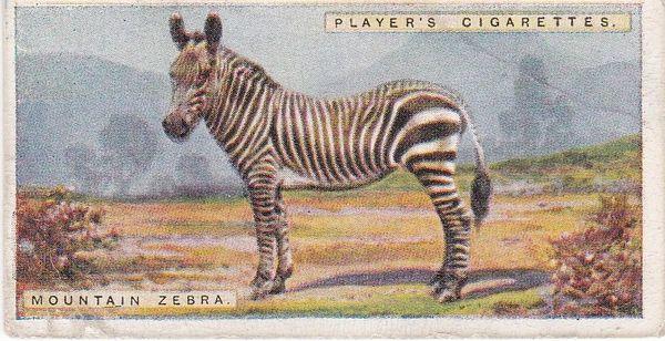 No. 50 Mountain Zebra