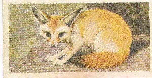 No. 23 - Fennec Fox