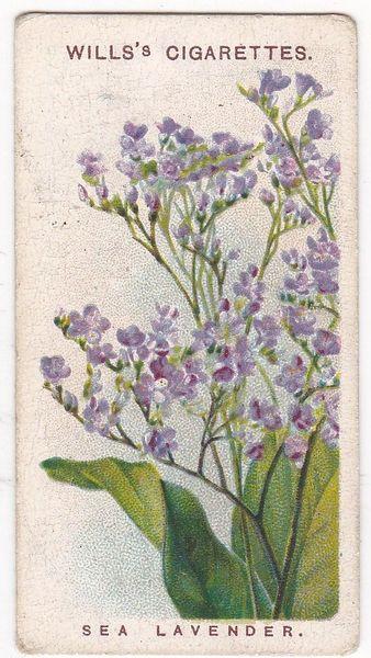 Second Series No. 39 Sea Lavender