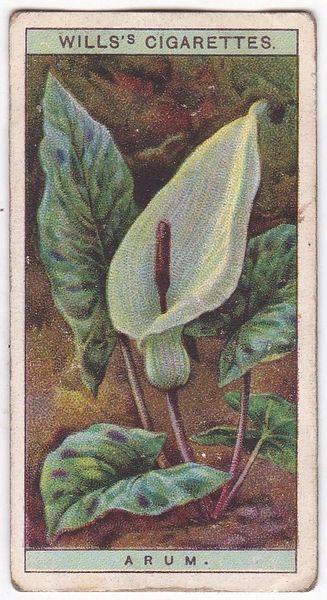 A Series No. 02 Arum