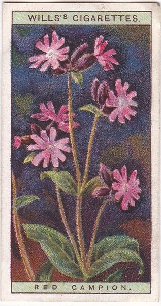 A Series No. 04 Red Campion