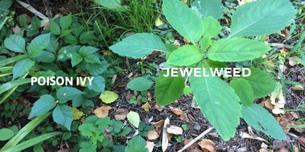 Poison ivy jewelweed comparison