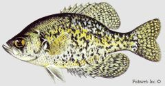 Crappie: 4 live fish male and females over two inch long and growing.