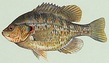 500 Red Ear Sunfish Fry (Lepomis microlophus) for sale shipping late June or July 2019.