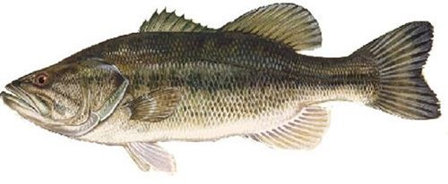 75 Live largemouth bass (Micropterus salmoides) Shipping May or June 2021. intended for aquaria use, not for pond stocking. ORS 635-007-600 3a. Aquaria use means holding fish in closed systems where untreated effluent does not enter state waters.