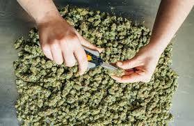10 Pounds of Hemp CDB Legal Marijuana