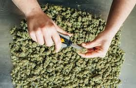 One pound of Hemp CDB legal Marijuana THC less than .3 %