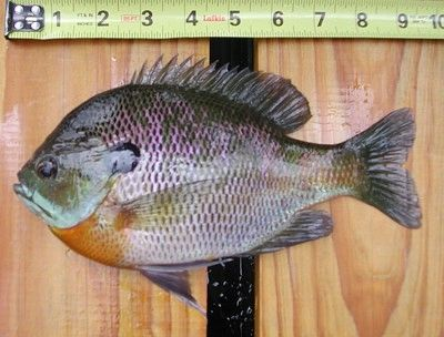 100 live Bluegill fry (Lepomis macrochirus) shipping August 2021 Aquaria species intended ORS 635-007-600 3a. Aquaria use means holding fish in closed systems where untreated effluent does not enter state waters. Contact your state for pond stocking.