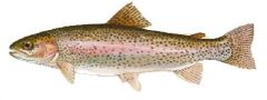 75 Live and swimming Rainbow trout for March 2020 delivery.