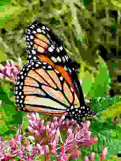 Monach butterfly joe pye weed danielle ponder griffin etsy greeting cards pollinator conservation