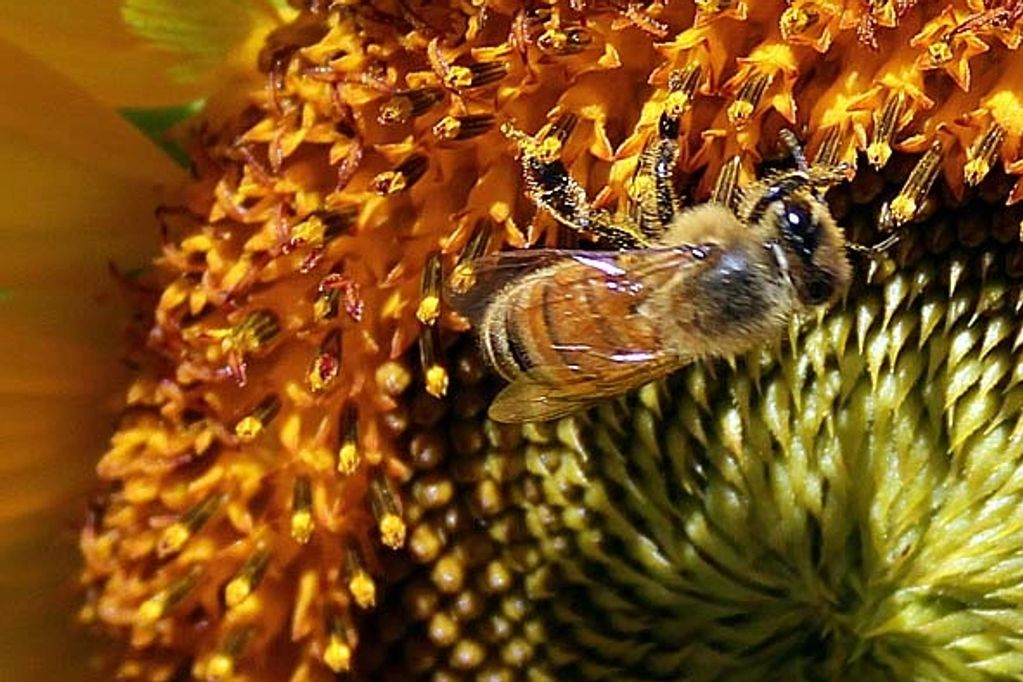 Honey bee on a sunflower at Funny Farm Apiaries.