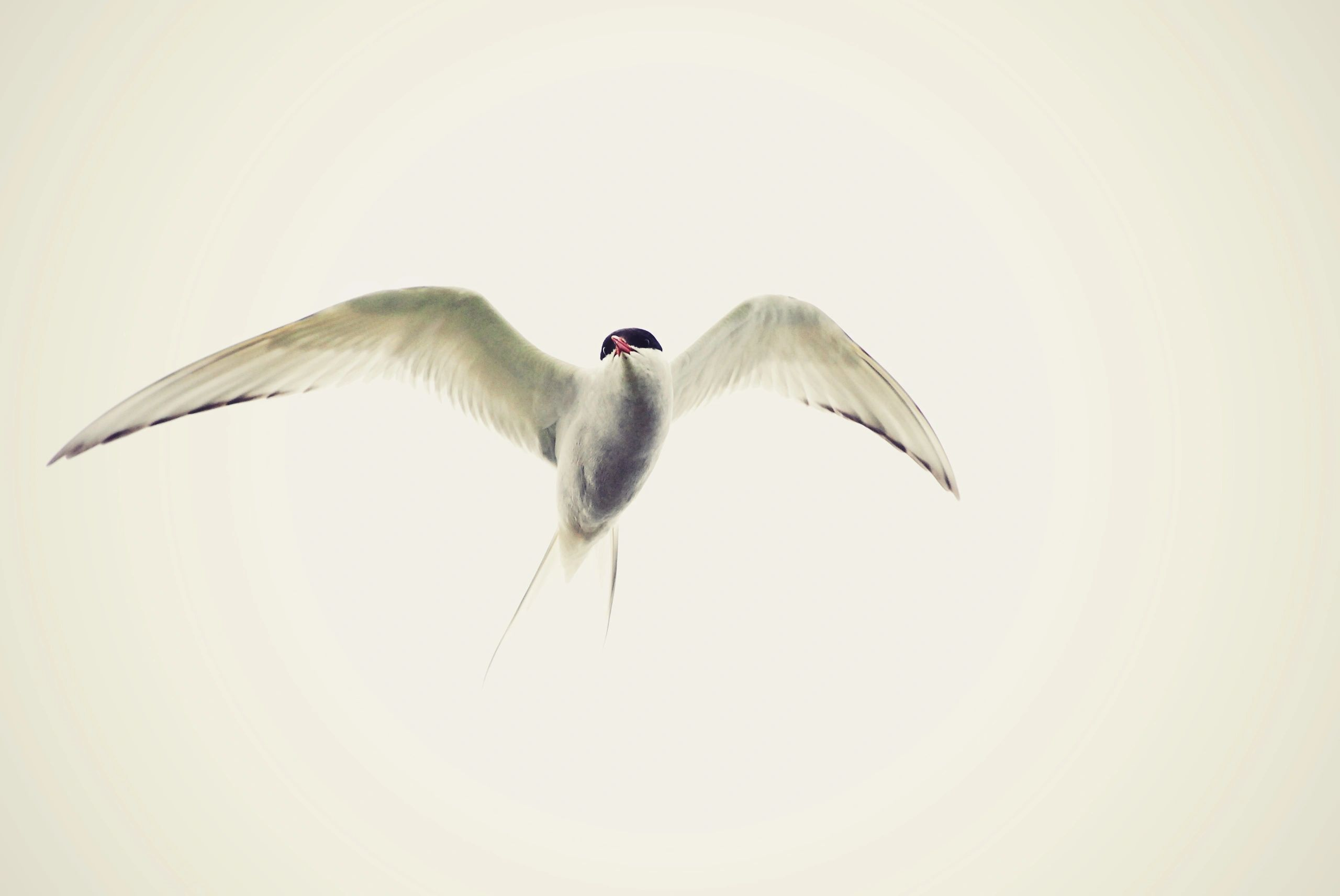 A white bird with a black cap and red bill flies through the air.