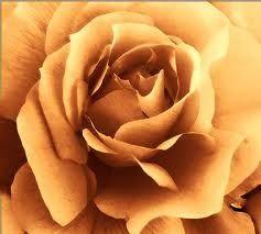 R17 Amber Rose Small Spray