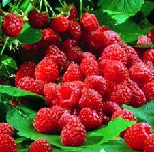 21 Raspberry Small Spray