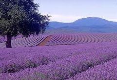 22 Lavender Small Spray