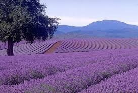 22 Lavender Dram Oil