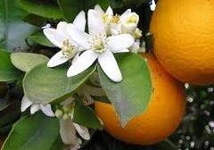 81 Orange Blossom Medium Gel
