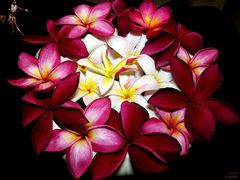 103 Plumeria Large Refresher Spray