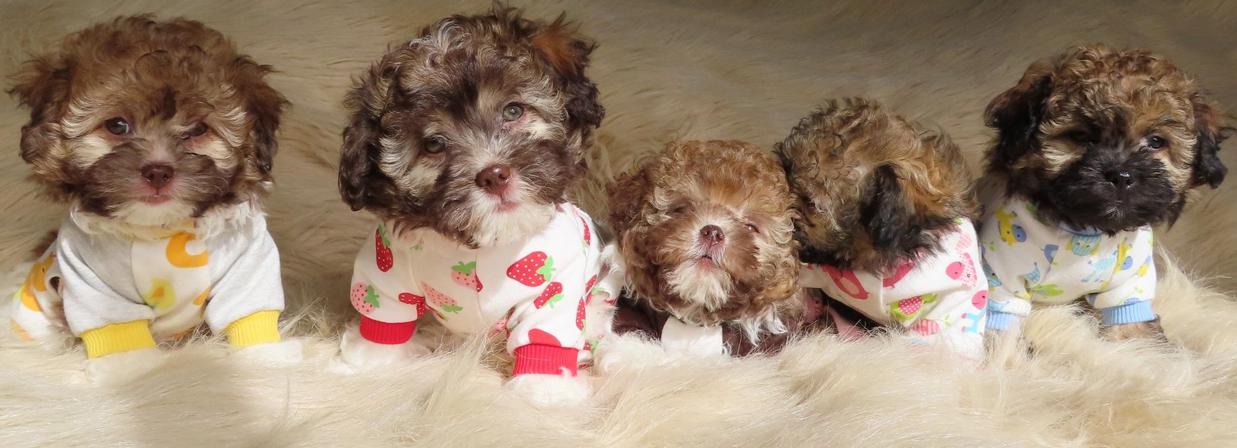 Teddy bear Zuchon (Shichon or Shih Tzu Bichon) puppies in onesies - Happy healthy smart comical affectionate highly trainable great service or therapy dogs  excellent companion or family dog - www.tinyteddys.com - Tiny Teddies