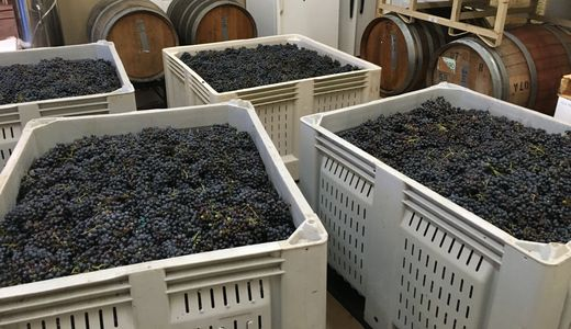 harvested grapes for wine
