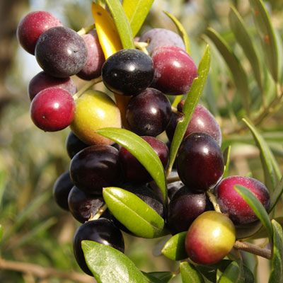 Arbequina Extra Virgin Olive Oil (Spain)