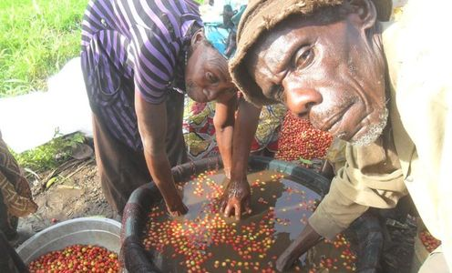 DR Congo coffee growers washing coffee berries