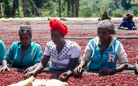 Coffee drying beds in Ethiopia. Women sorting the coffee berries