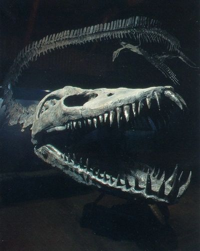 Closeup of the skull and teeth of the Puntledge River elasmosaur