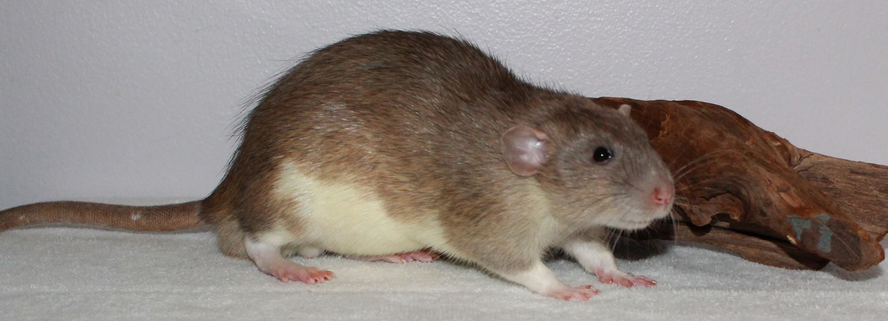 American Blue Berkshire Dumbo male rat