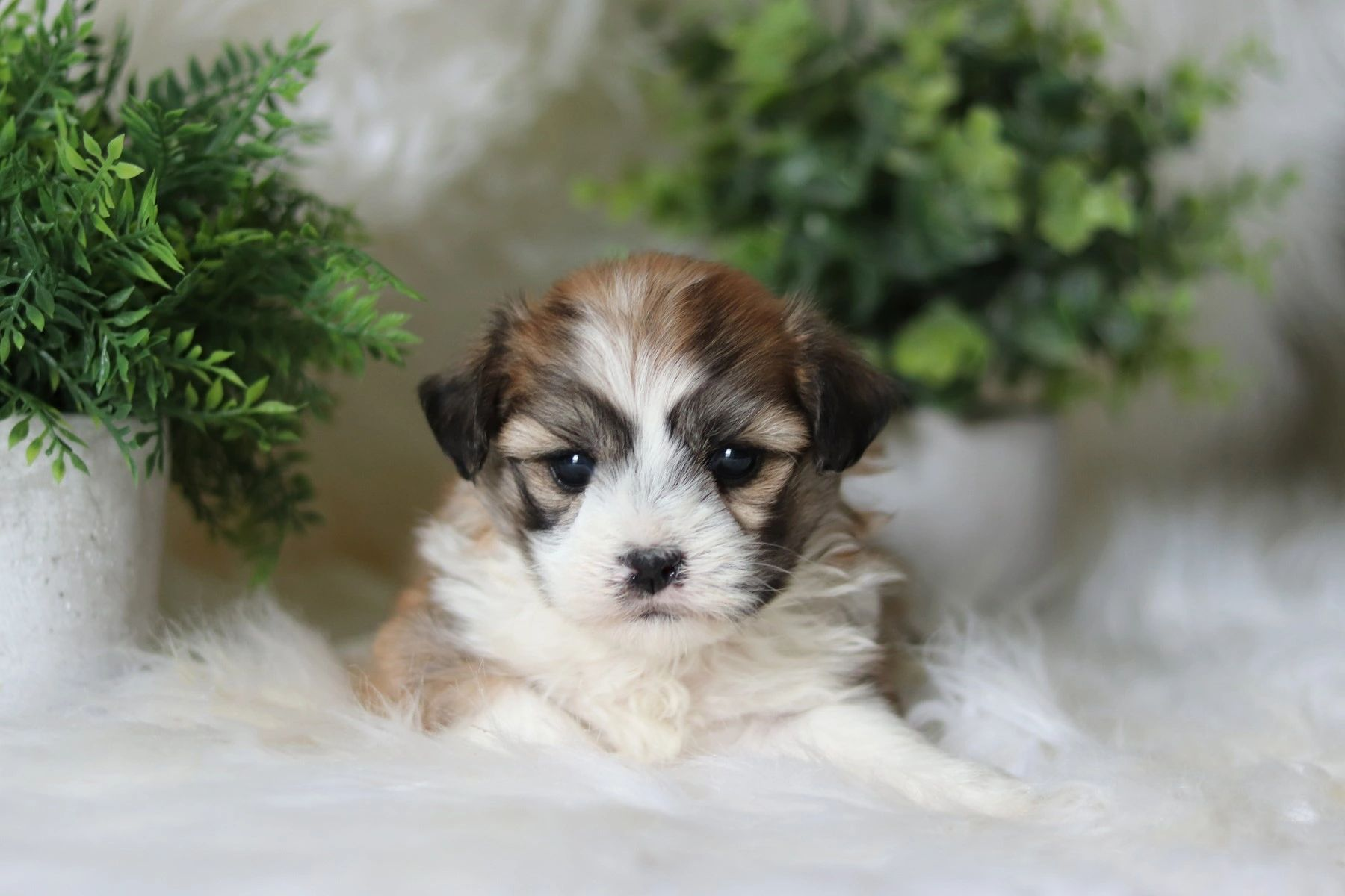 puppies for sale, poodle mix puppies, bichon mix puppies, maltese mix puppies, shihtzu mix puppies