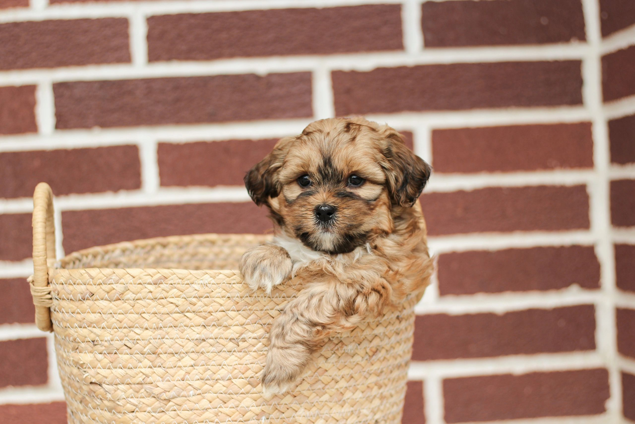 Shihpoo puppies for sale. shihtzu mix puppies I miniature poodle mix puppies I F1 hybrid puppies