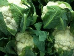 Cauliflower - Snowball